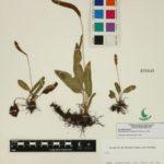 Elaphoglossum muelleri