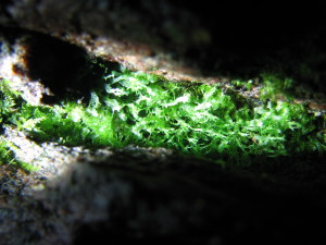 A mass of thalloid material, like strips of lettuce, occupies a brightly-lit rock crevice.
