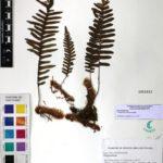 Polypodium martensii