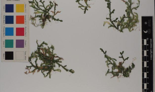 Selaginella reflexa