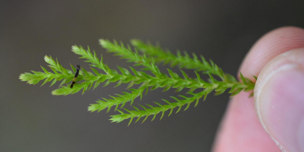 Selaginella uliginosa