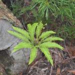 Sticherus flabellatus