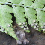 Dryopteris cf patula