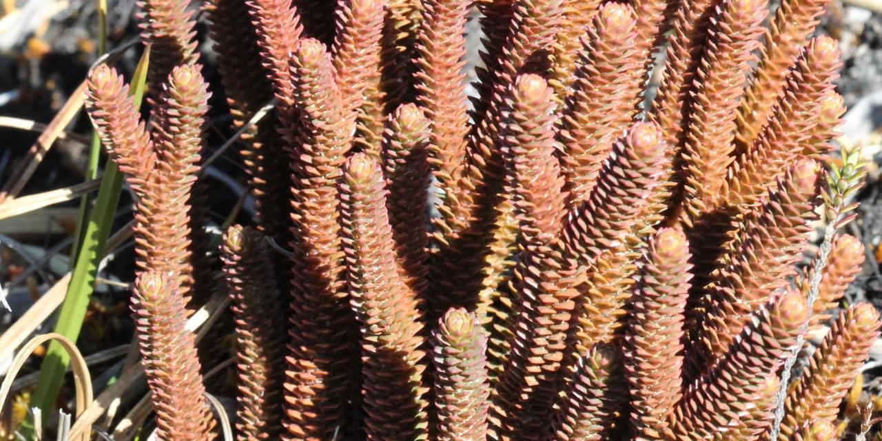 Phlegmariurus brevifolius