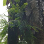 Lecanopteris carnosa