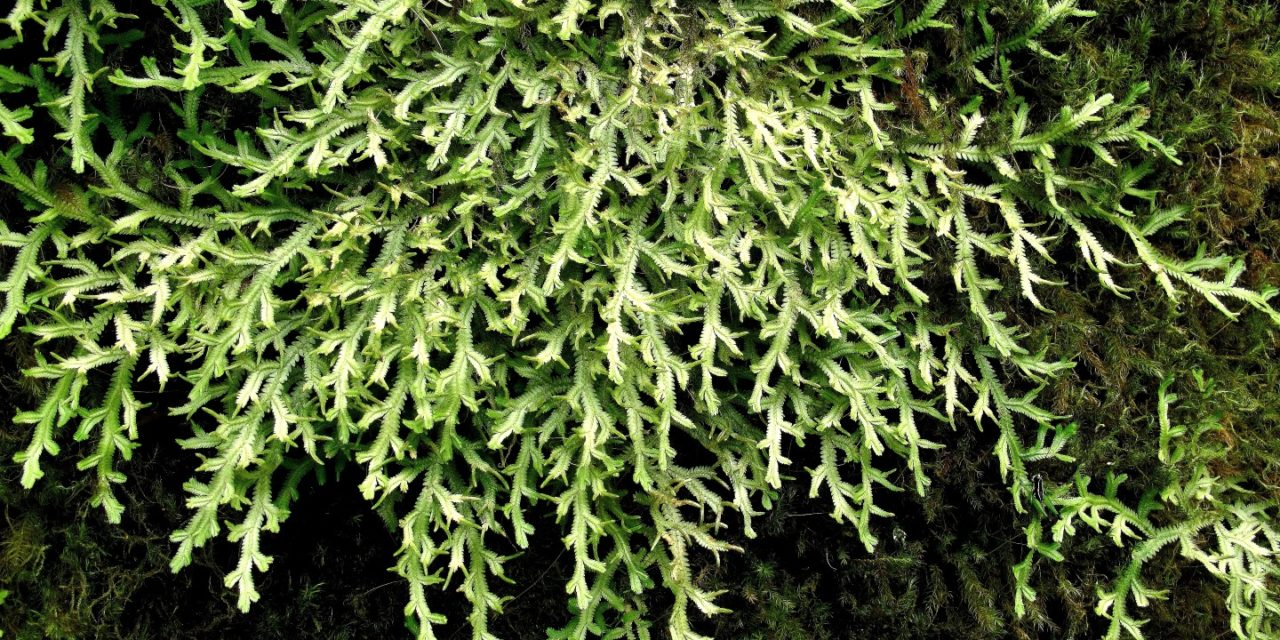 Selaginella jungermannioides