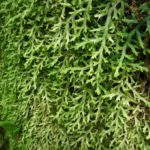Selaginella muscosa maybe (2) (Large) (Selaginella jungermannioides)