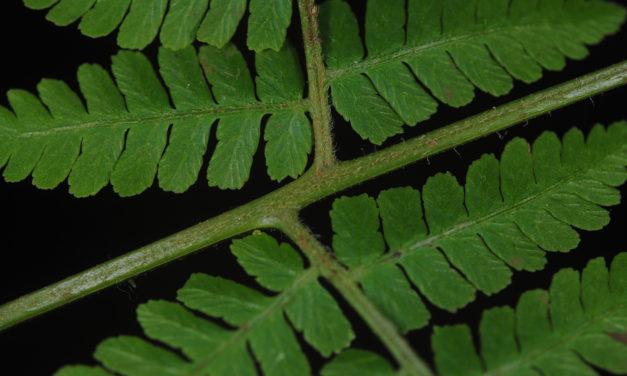 Hypolepis hostilis