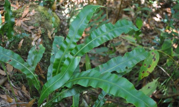 Elaphoglossum sartorii