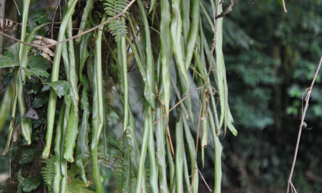 Elaphoglossum vestitum