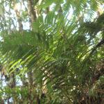 IMG_7040 (Parablechnum schiedeanum)