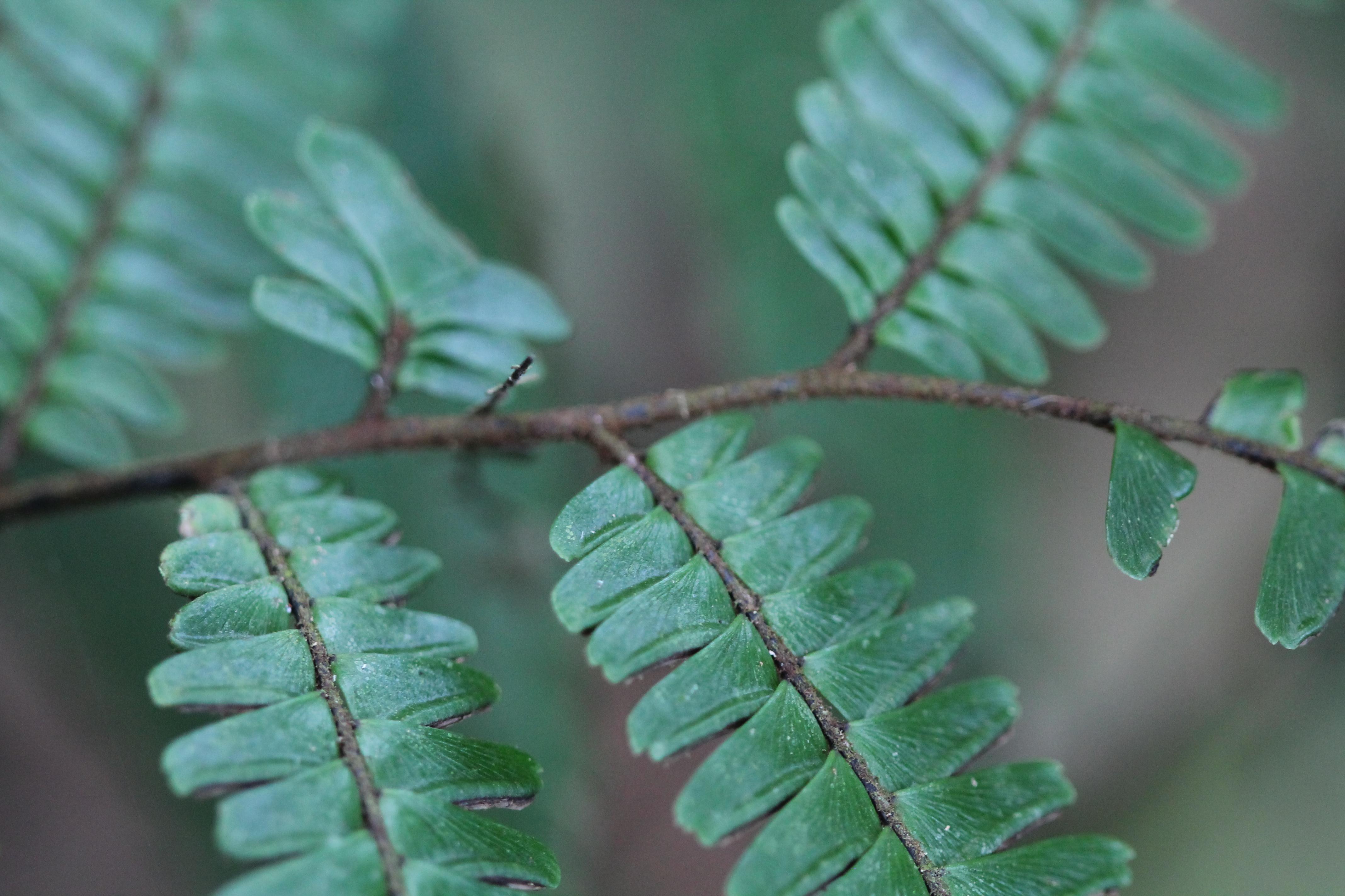 Adiantum pulverulentum