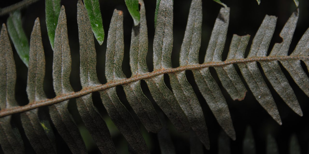 Pleopeltis macrolepis