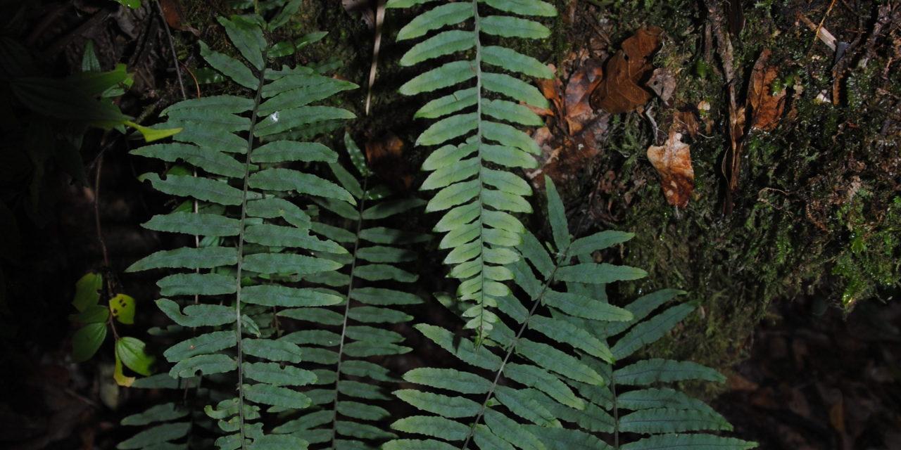 Polypodium ursipes