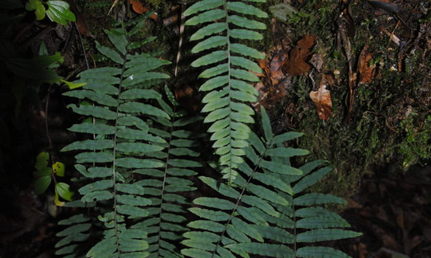 Polypodium ursipes