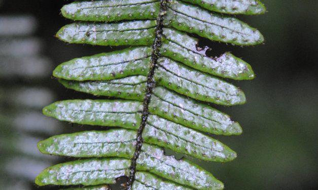 Mycopteris leucosticta