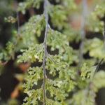 Hymenophyllum fendlerianum