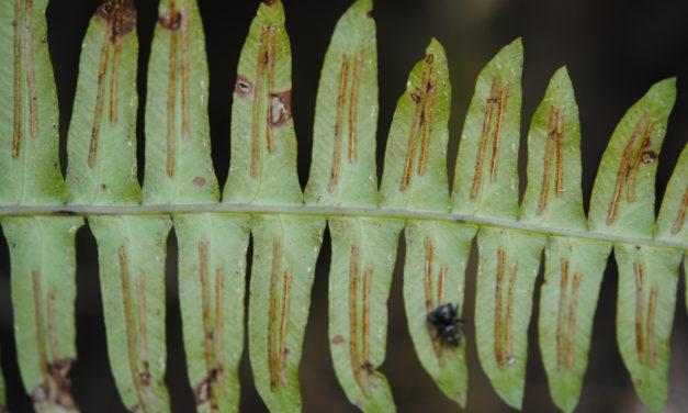 Blechnum appendiculatum