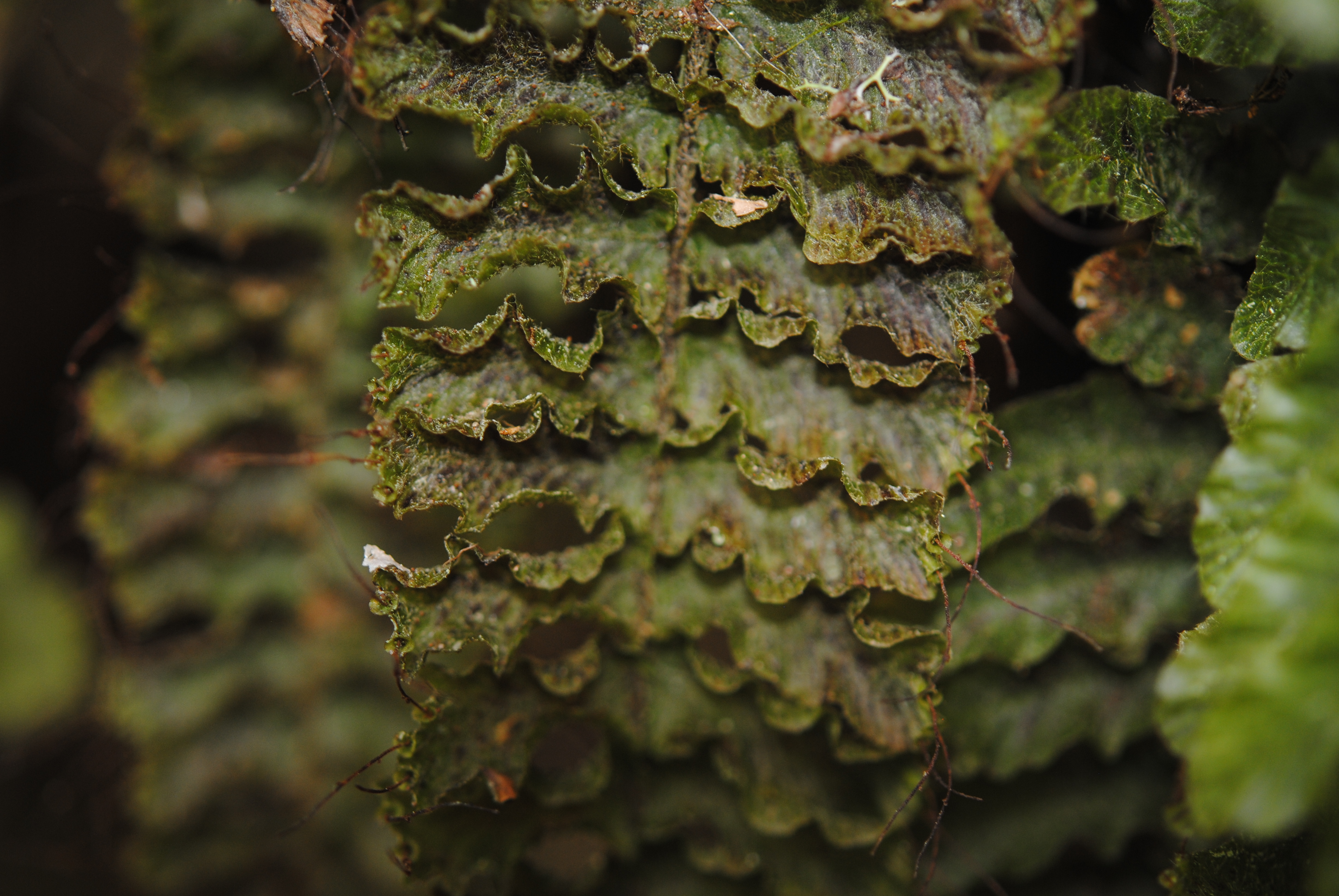 Trichomanes crispum