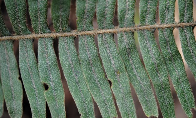 Pleopeltis sanctae-rosae