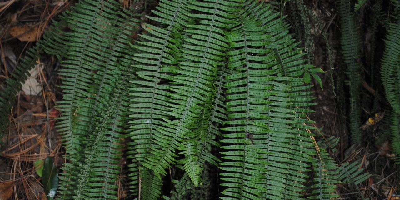 Pecluma alfredii var. cupreolepis