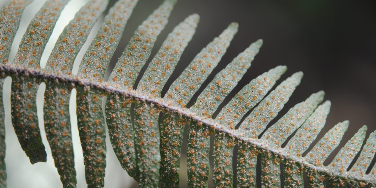 Pleopeltis furfuracea