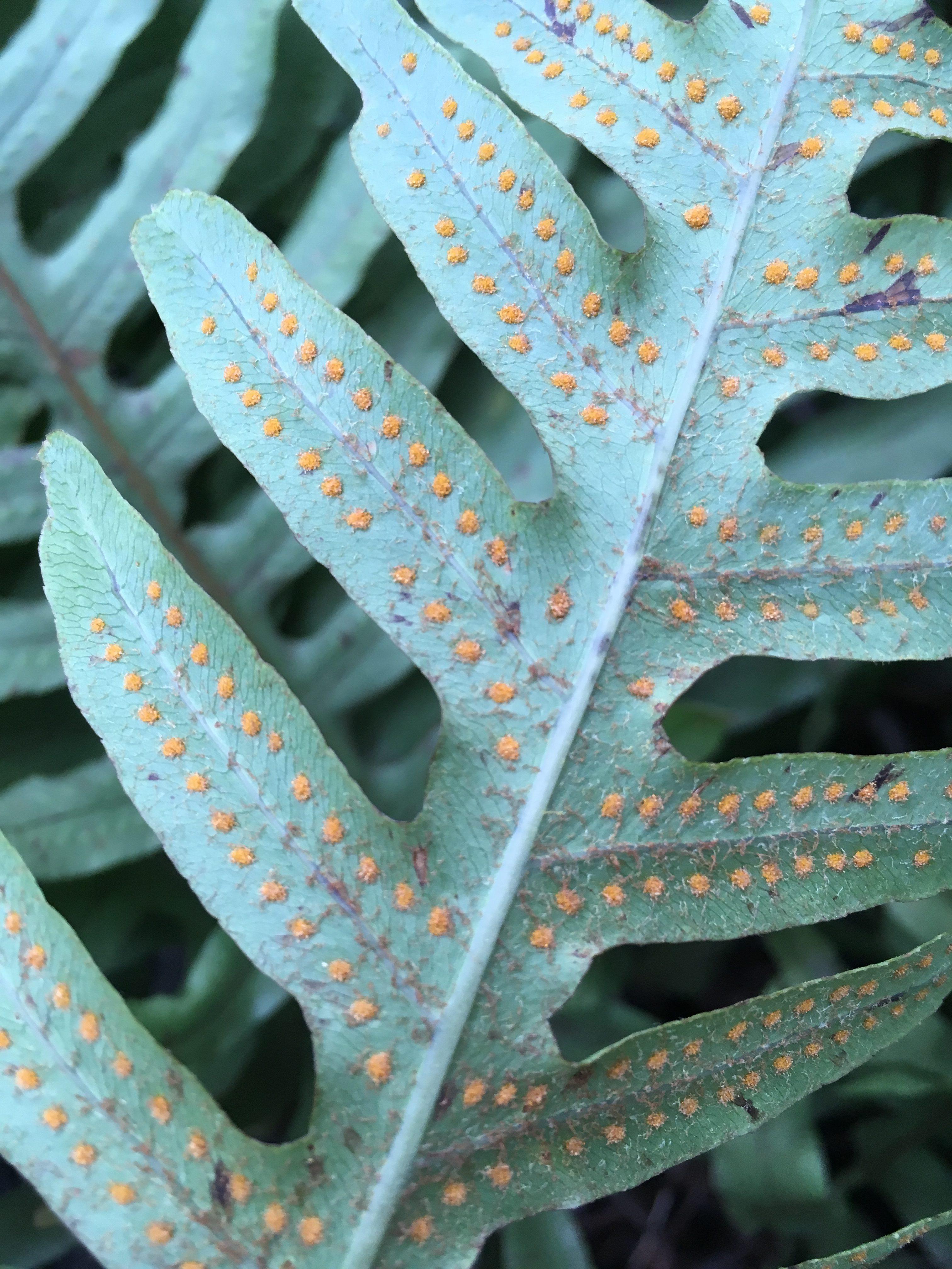 Phlebodium araneosum
