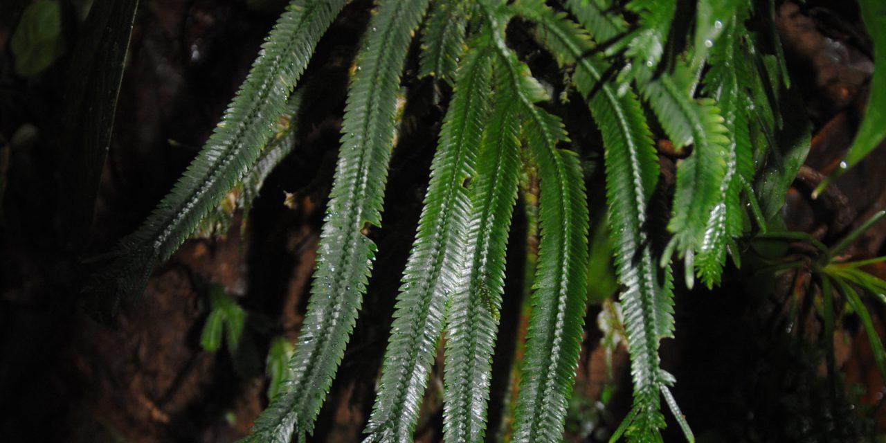 Selaginella bombycina