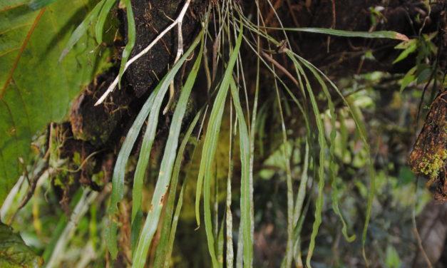 Elaphoglossum caricifolium