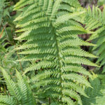 filix1 (Dryopteris filix-mas)