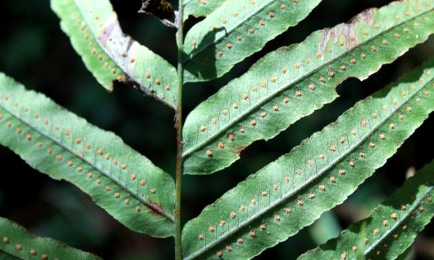 Polypodium echinolepis