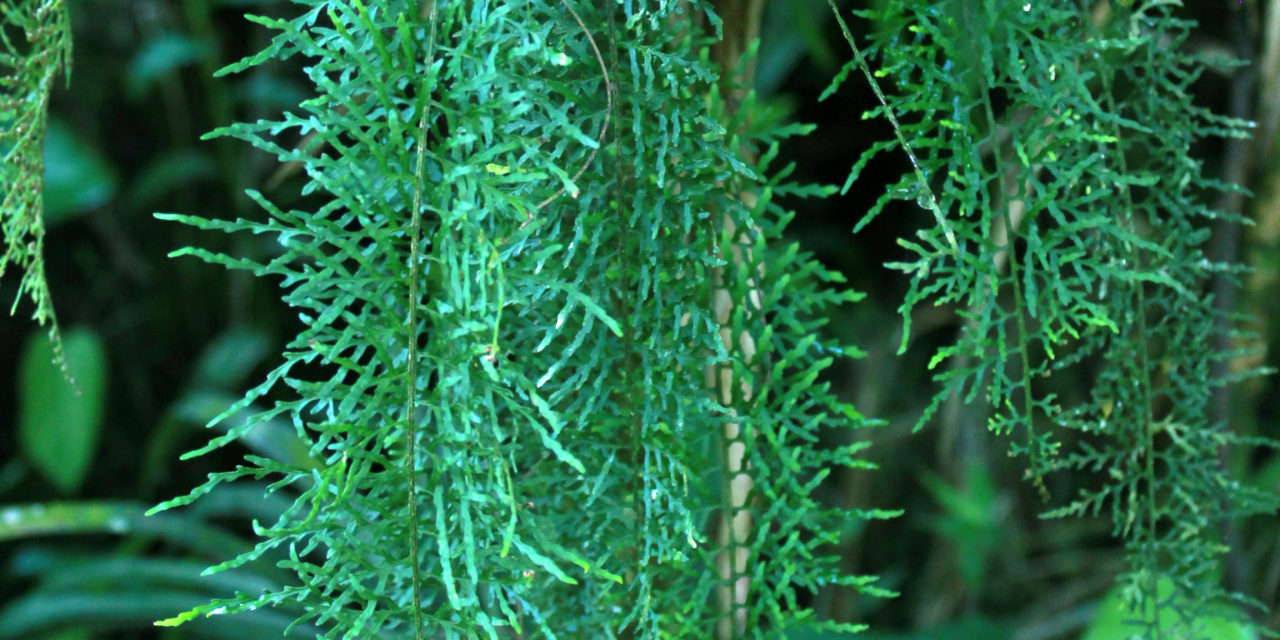 Pleopeltis lindeniana
