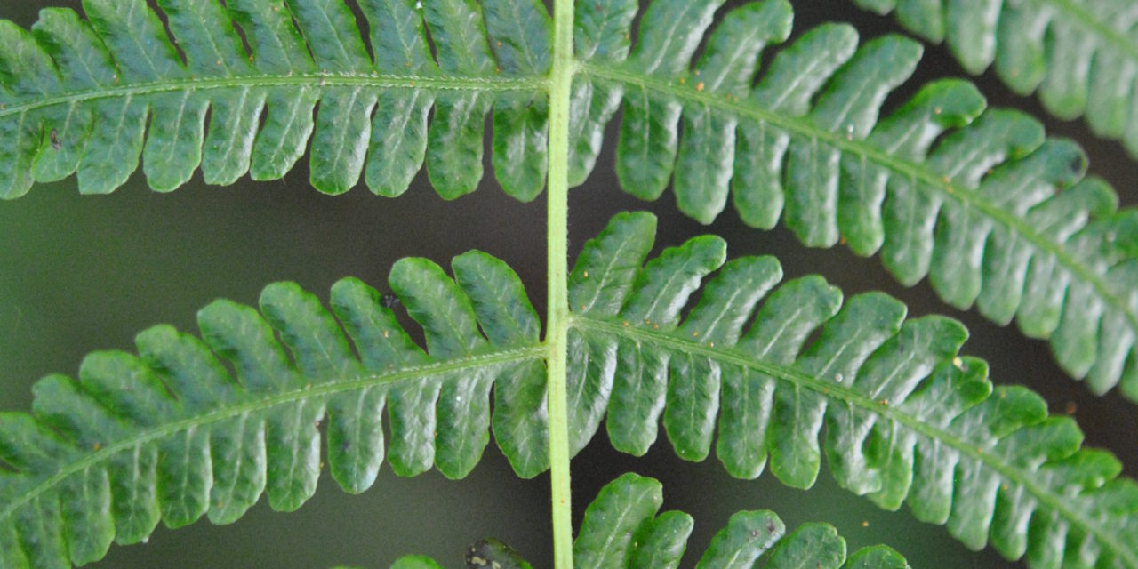 Amauropelta deflexa