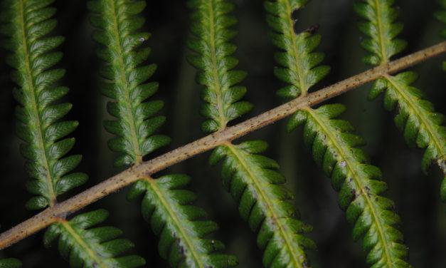Plesioneuron dryopteroideum