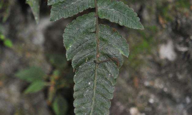 Goniopteris aff. curta