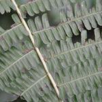 Amauropelta euchlora