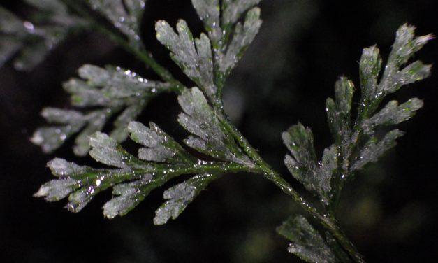 Vandenboschia radiata