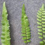 Goniopteris hybrid