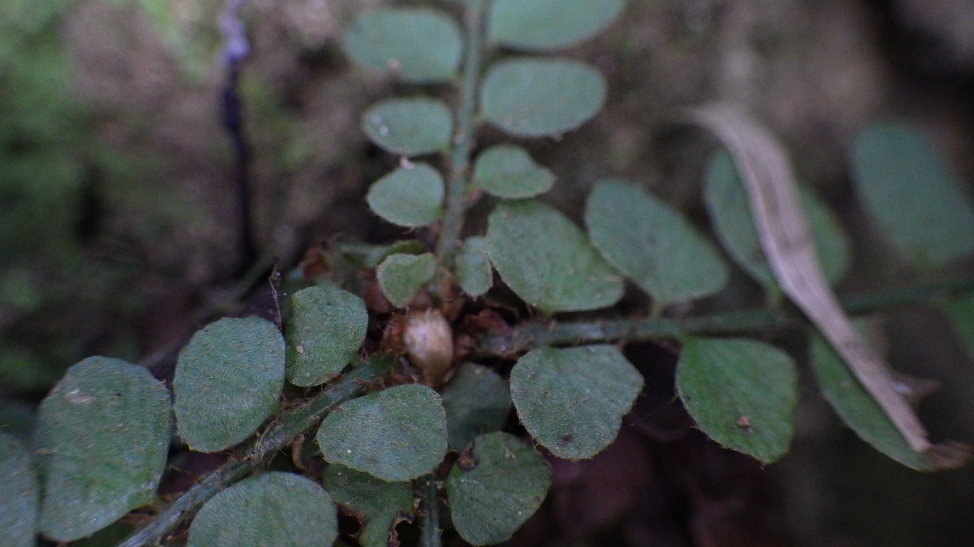 Polystichum rhizophyllum