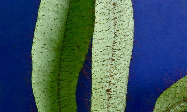 Elaphoglossum atrobarbatum