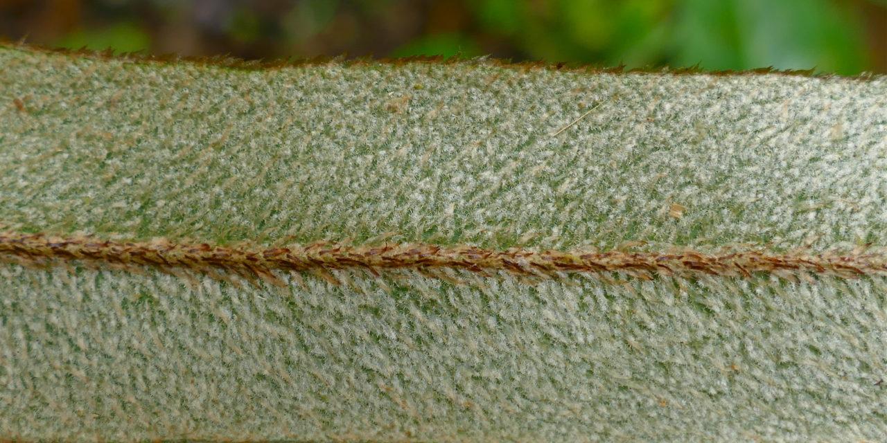 Elaphoglossum heterochroum