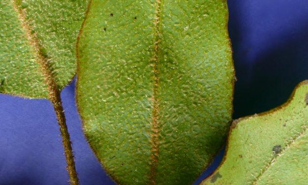Elaphoglossum lepidothrix