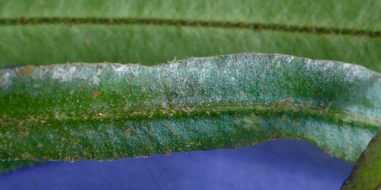 Elaphoglossum pseudoherminieri