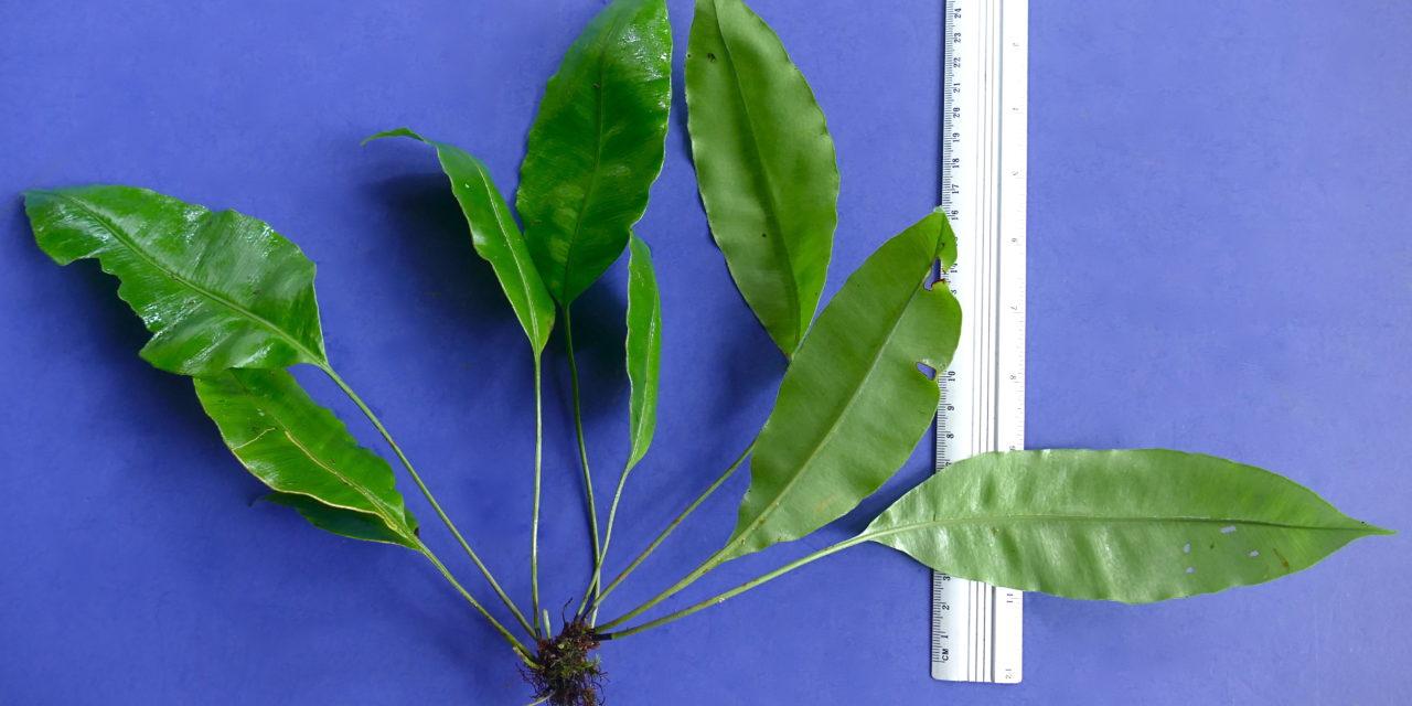Elaphoglossum sp.