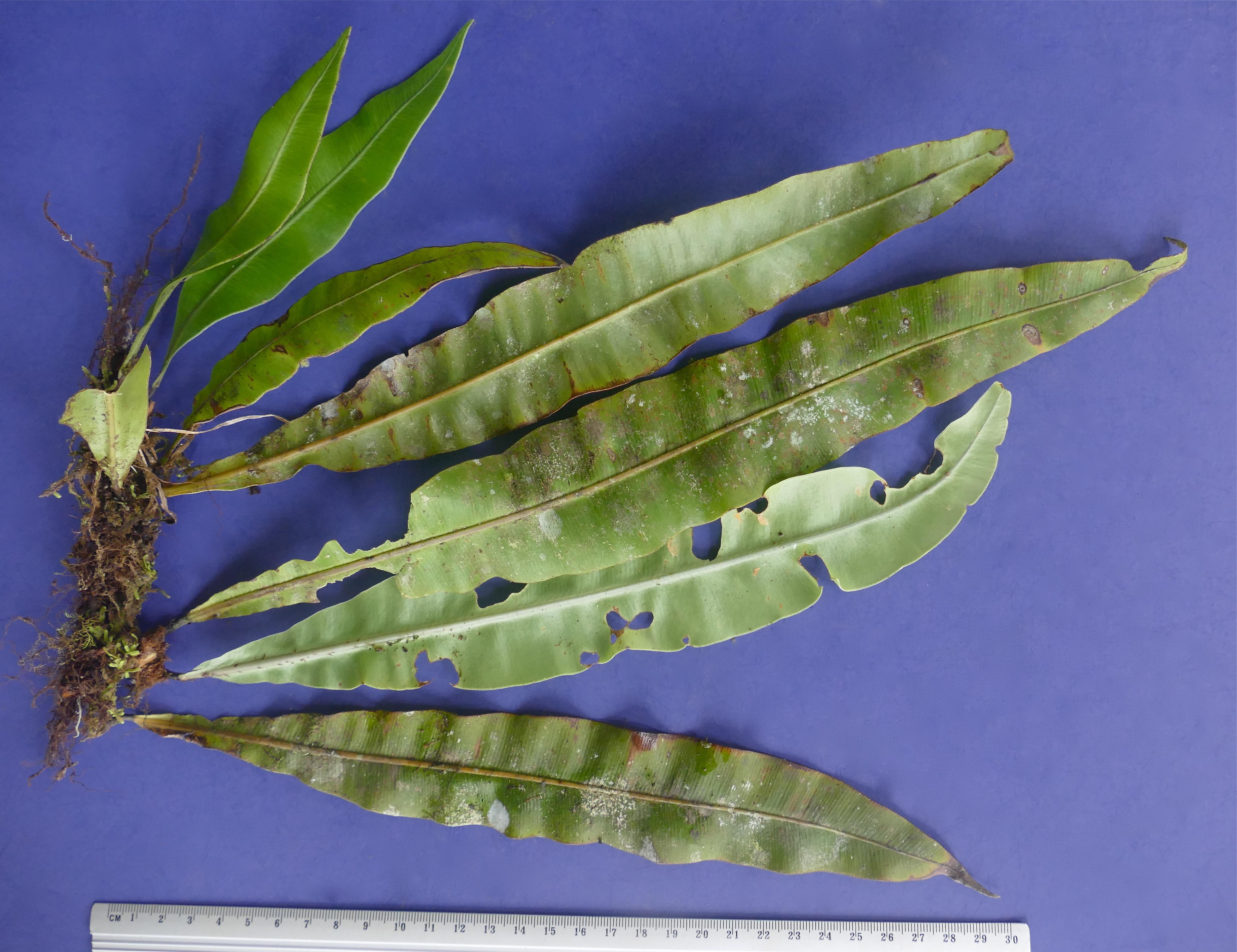 Elaphoglossum brevissimum