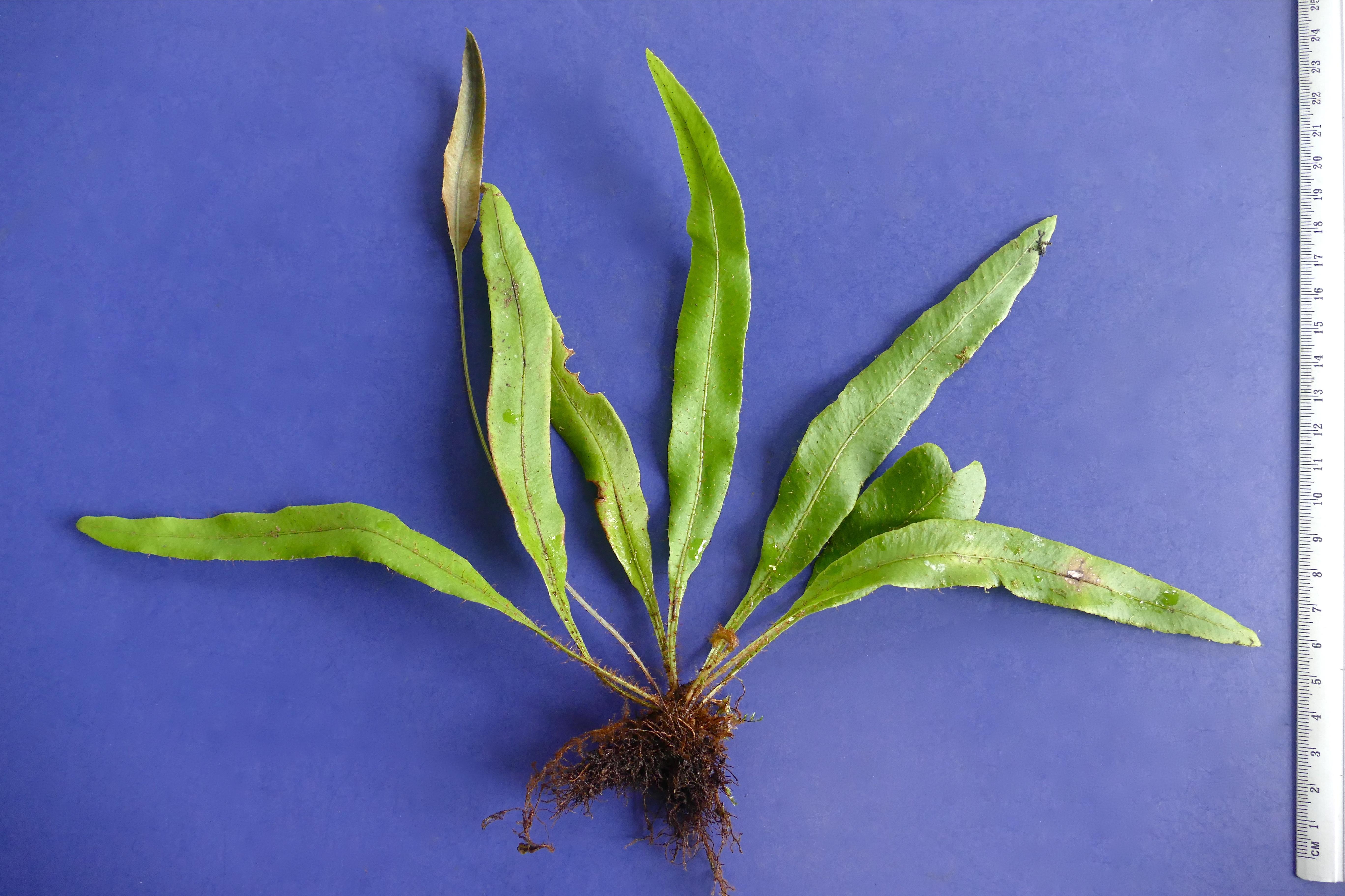 Elaphoglossum maculatum