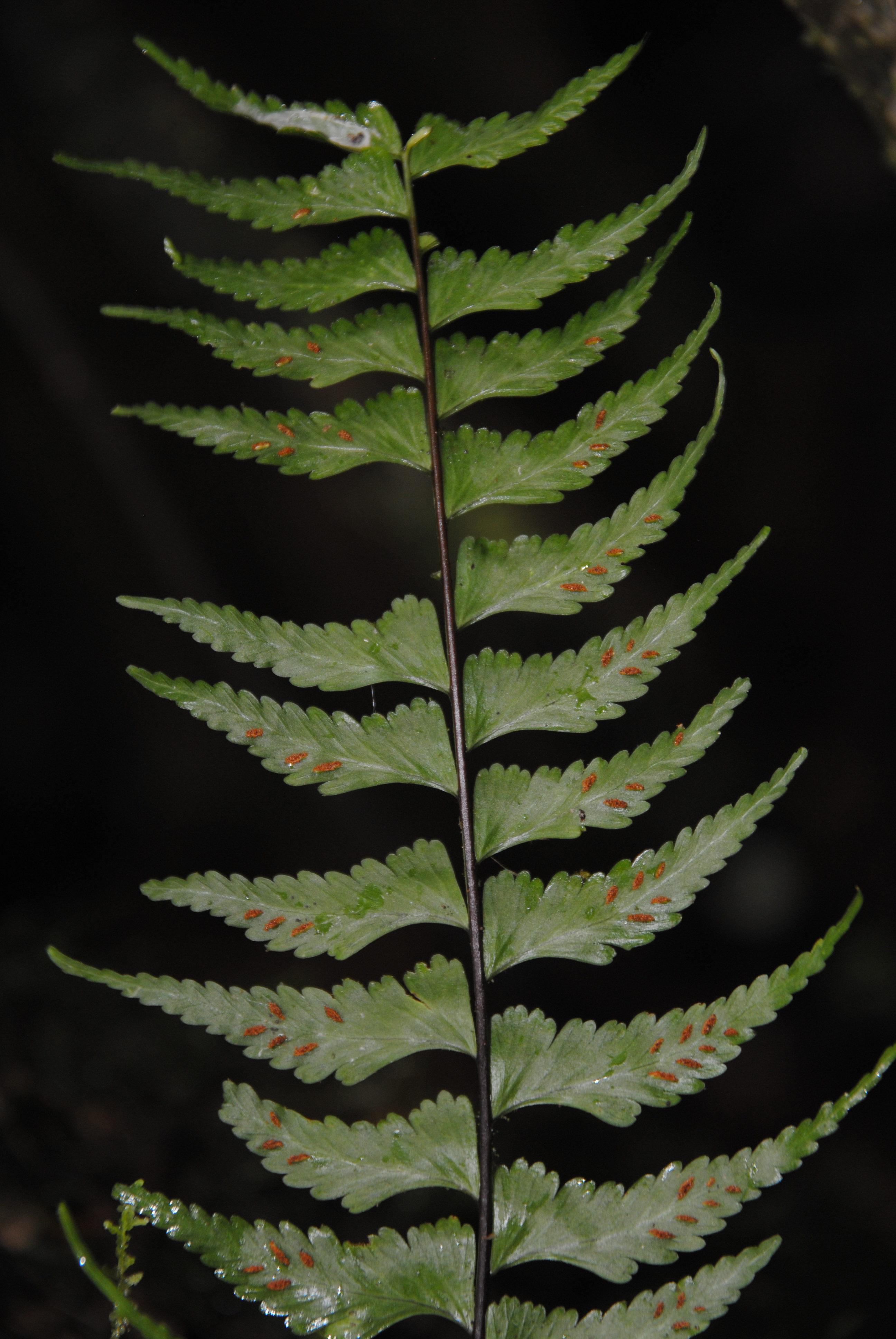 Asplenium cf. drepanophyllum