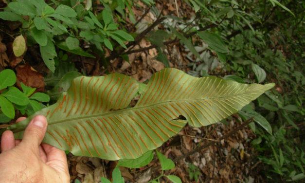 Leptochilus henryi