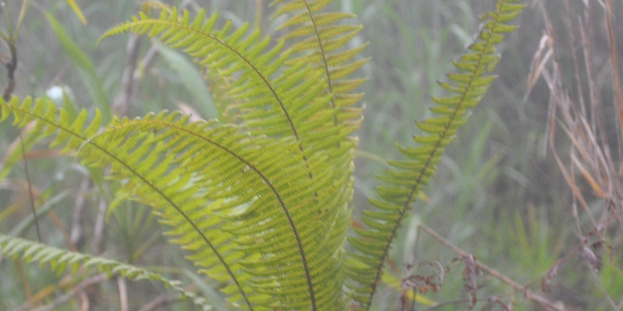 Sphaerostephanos archboldii