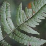Pneumatopteris subappendiculata, vel. aff.